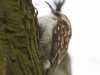 treecreeper-Brian Irvine
