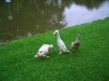 runnerducks044.jpg