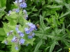 bee wildflower