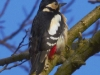 great-spotted-woodpecker Brian Irvine
