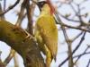 green-woodpecker-male-Brian Irvine