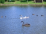Cheadle Runner Ducks - Summer 2008
