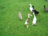 runnerducks033.jpg