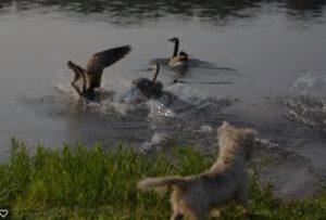 dog n duck